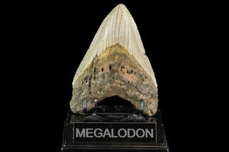 "Buy 4.6"" Fossil Megalodon Tooth - North Carolina - #109816"