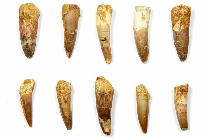 "Wholesale Lot: 1.5 to 2.1"" Bargain Spinosaurus Teeth - 10 Pieces"