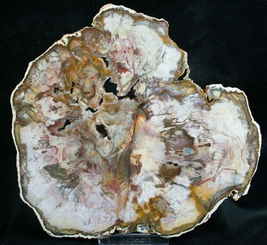 Quality Araucaria Petrified Wood Slab - 7.9""