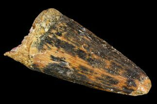 "1.7"" Spinosaurus Tooth - Feeding Worn Tip For Sale, #110357"