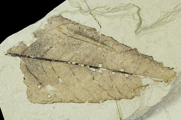 "2.0"" Partial Fossil Leaf - Green River Formation"