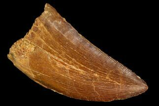 "1.57"" Carcharodontosaurus Tooth - Real Dinosaur Tooth For Sale, #110417"