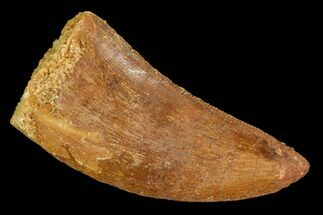 "1.42"" Carcharodontosaurus Tooth - Real Dinosaur Tooth For Sale, #110420"