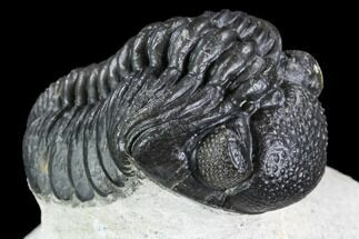 "1.6"" Detailed Austerops Trilobite - Ofaten, Morocco For Sale, #110648"