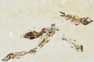 Armigatus sp. - Fossils For Sale - #110850