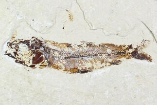 Unidentified fish - Fossils For Sale - #110853