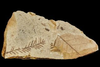 Metasequoia occidentalis, Alnus sp. - Fossils For Sale - #110913
