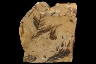 "2.5"" Metasequoia & Alder Fossil Plate - Cache Creek, BC For Sale, #110915"