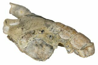 "Buy 4.4"" Fossil Mud Lobster (Thalassina) - Australia - #109303"
