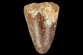 "1.2"" Fossil Crocodile (Elosuchus) Tooth - Morocco For Sale, #109925"
