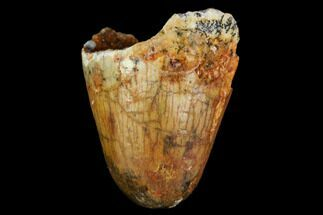 "Buy .7"" Fossil Crocodile (Elosuchus) Tooth - Morocco - #109939"