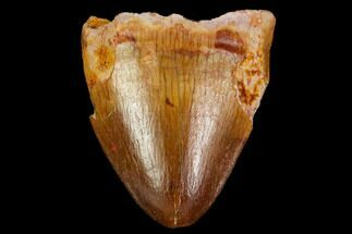 ".6"" Crocodylomorph Tooth - Morocco For Sale, #109949"