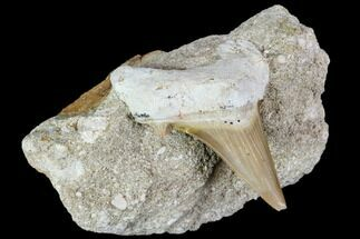 "2.4"" Otodus Shark Tooth Fossil in Rock - Eocene For Sale, #111038"