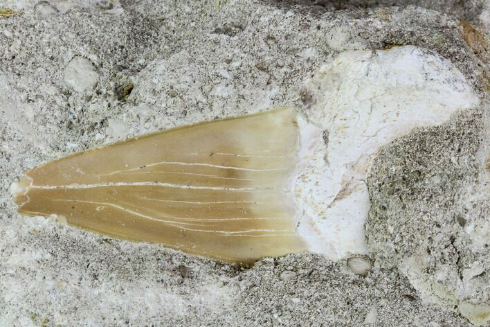 "2.4"" Otodus Shark Tooth Fossil in Rock - Eocene"