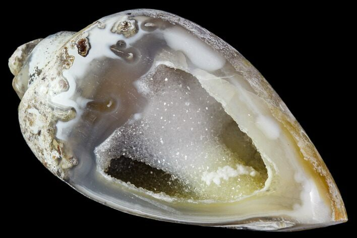 "1.72"" Chalcedony Replaced Gastropod With Druzy Quartz - India"