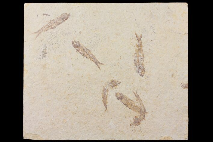 "8.2"" Fossil Fish (Knightia) Multiple Plate - Wyoming"