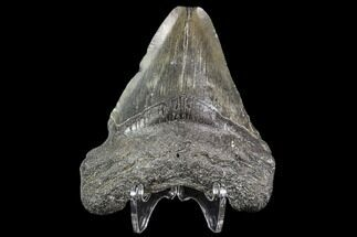 "Buy 2.85"" Juvenile Megalodon Tooth - Georgia - #111607"