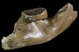 "12.8"" Juvenile Woolly Mammoth Jaw Section - Germany For Sale, #111758"