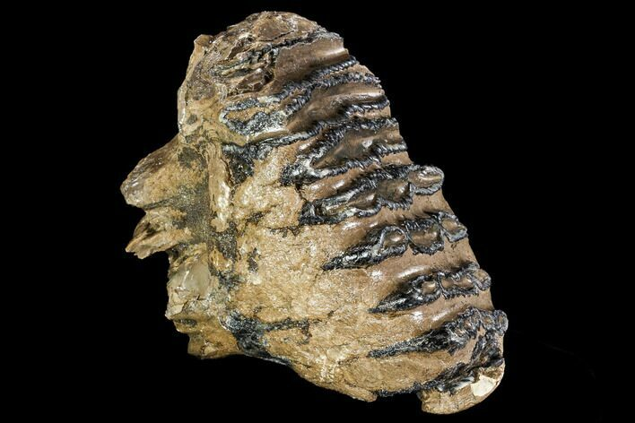 "5.6"" Adult M1 Southern Mammoth Molar - Hungary"