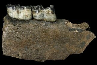 "7.6"" Fossil Rhino (Stephanorhinus) Jaw Section - Germany For Sale, #111878"