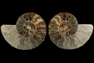 "Bargain, 6.5"" Agatized Ammonite Fossil (Pair) - Madagascar For Sale, #111536"