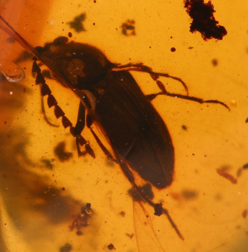Electronic Recruitment Application Era Myanmar: Fossil Beetle (Coleoptera) In Amber