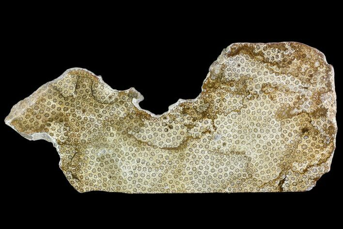 "11.8"" Polished, Fossil Coral Slab - Indonesia"