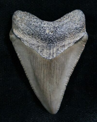 "1.53"" Megalodon Tooth - Florida"