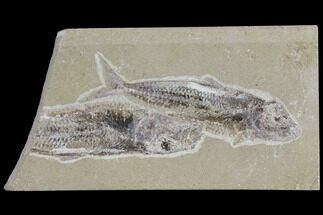 Two Cretaceous Fossil Fish (Scombroclupea) - Lebanon For Sale, #112649