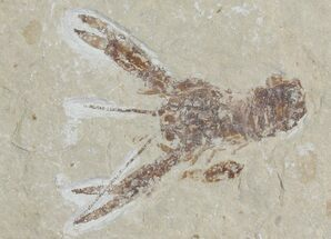 "Buy 1.4"" Cretaceous Lobster (Pseudostacus) Fossil - Lebanon - #112657"