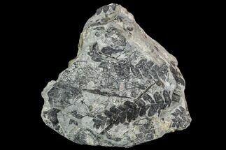 Neuropteris sp. - Fossils For Sale - #112944