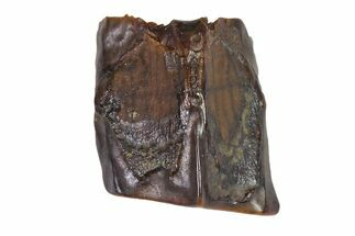 "Buy .26"" Fossil Hadrosaur (Edmontosaurus) Shed Tooth- Montana - #111001"