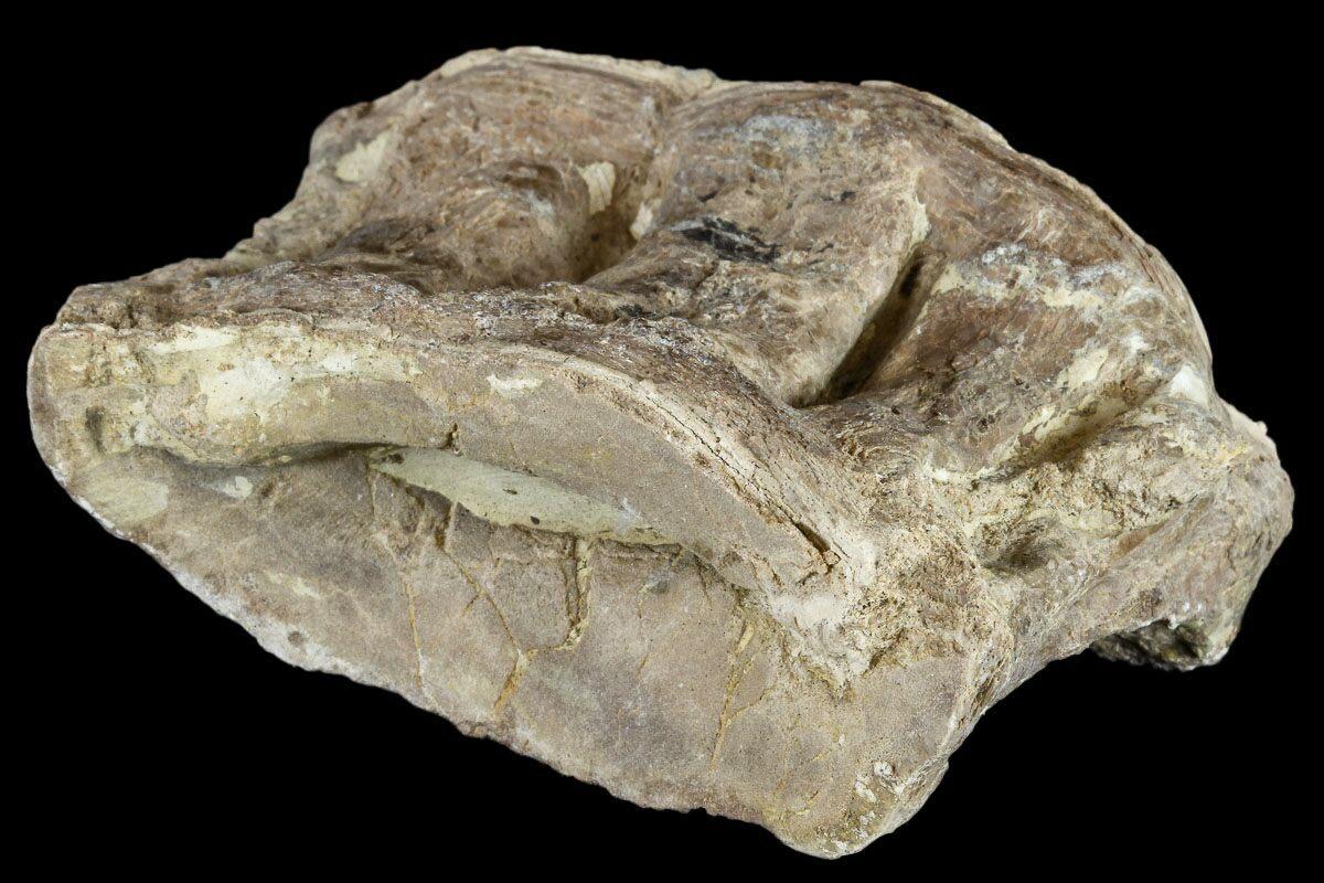 "2.8"" Cretaceous Fossil Fish (Xiphactinus) Vertebra ..."