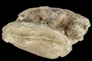 "3.0"" Cretaceous Fossil Fish (Xiphactinus) Vertebra - Kansas For Sale, #113024"