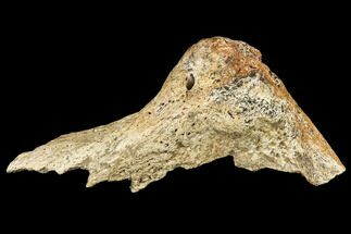 "4.1"" Triceratops Quadratojugal Bone Section - Montana For Sale, #113120"
