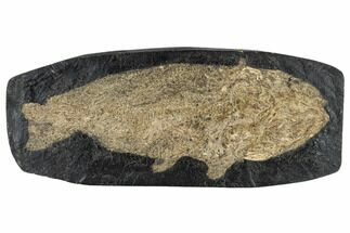 "9.1"" Eocene Fossil Fish (Cyclurus) - Messel Shale, Germany For Sale, #113177"