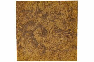 "12"" Fossil Pennsylvanian Microbial Mat - Oklahoma For Sale, #113132"