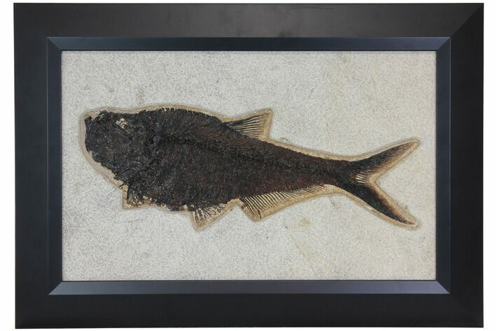 "13.8"" Framed Fossil Fish (Diplomystus) - Wyoming"