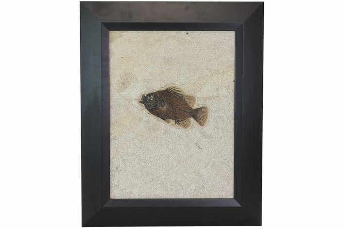 "4.8"" Framed Fossil Fish (Priscacara) - Green River Formation"