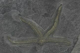 "3.1"" Pyritized Starfish (Seestern) - Bundenbach, Germany For Sale, #113291"