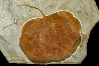 "Buy 3.4"" Fossil Leaf (Zizyphoides) - Montana - #113230"