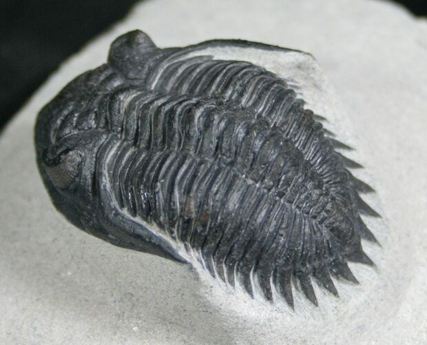 New Species Kayserops Trilobite - Issoumour