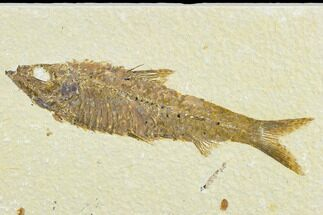 "4.5"" Detailed Fossil Fish (Knightia) - Wyoming For Sale, #113573"