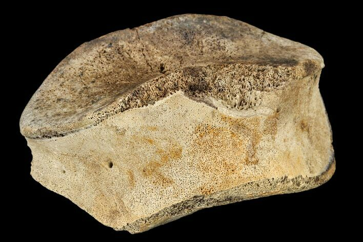 "2.6"" Hadrosaur (Edmontosaurus) Toe Bone - South Dakota"