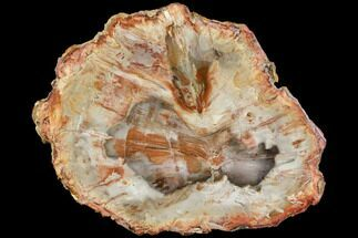 "8.9"" Colorful Petrified Wood (Araucaria) Round - Madagascar  For Sale, #113780"