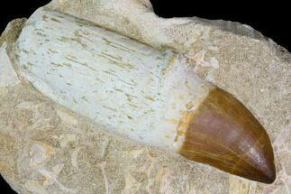"Huge, 5.35"" Rooted Mosasaur (Prognathodon) Tooth For Sale, #114479"