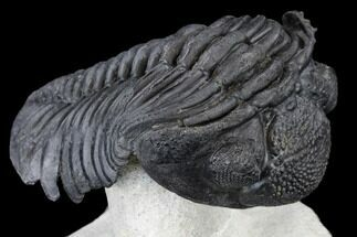 Pedinopariops (Hypsipariops) vagabundus - Fossils For Sale - #114579