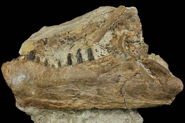 "10.6"" Cretaceous Monster Fish (Xiphactinus) Jaw - Kansas"