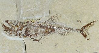 "Buy 5.2"" Cretaceous Predatory Fish (Eurypholis) With Pos/Neg - Lebanon - #115744"