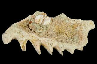 Ceratodus sp.  - Fossils For Sale - #115272